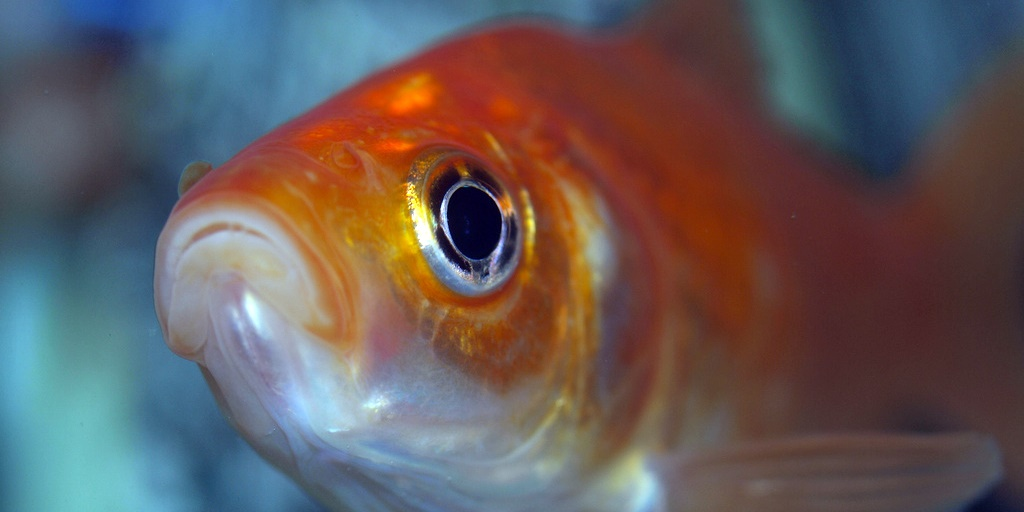 The Goldfish - Flash Fiction by Mary Thompson