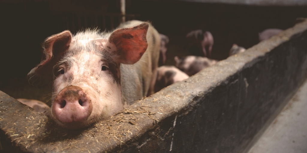 It's Not so Different Driving Pigs - Flash Fiction by Nicholas Petty